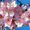 image de Fleurs blanches et roses 100*100
