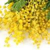 image de Mimosa 100*100