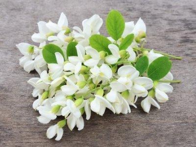 Langage Et Signification Des Fleurs Acacia