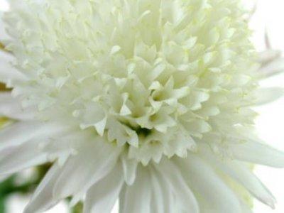 image de Chrysanthème 400*300