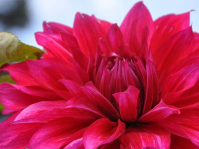 dahlia rouge signification