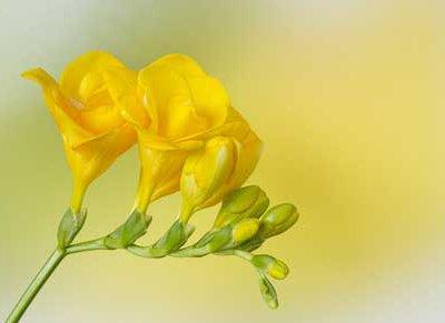 Langage Et Signification Des Fleurs Freesia