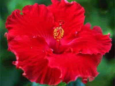 image de Hibiscus 400*300