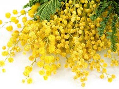 image de Mimosa 400*300
