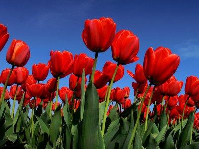 image de Tulipe 400*300